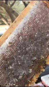 عسل سدر سمر ضهيانة مراعي وجميع انواع العسل