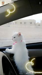 قطه بيضاء امريكيه شيرازيه