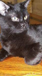 قط أسود من أب برتش شورت هير