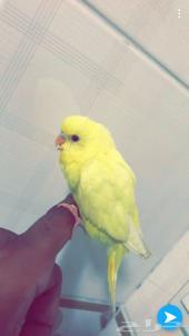 فرخ طيور الحب (تم البيع)