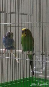 طيور كروان وبادجي للبيع
