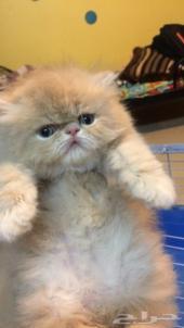 قطط بيرشن صغيره للبيع ويوجد توصيل لمناطق