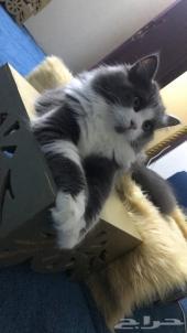 قطط امريكيه