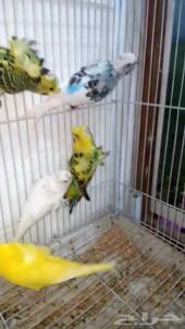 للبيع جملة طيور هوقو