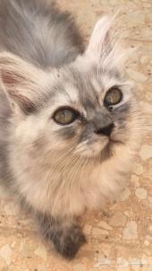 قطه انثى صغيره شيرازيه للبيع