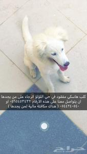 كلب هاسكي مفقود