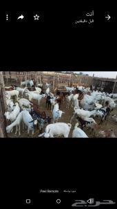 جازان صبيا قرية نخلان (بجوار سوق الاغنام)