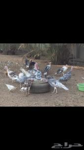 رومي دجاج منتج وراجن