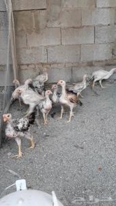 فروخ دجاج حجازي (فارسي)