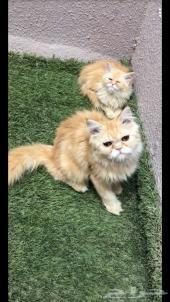 قطط شيرازية جميلة ولعوبة للبيع