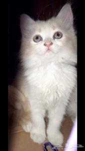 قطه صغيره شيرازي مجموعة قطط