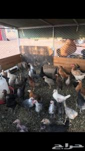 للبيع دجاج بلدي وفيومي