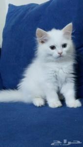 قطة بسه صغيرة للبيع