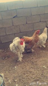 دجاج براهما مع صوص