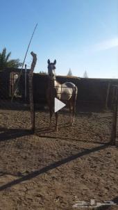للبيع حصان شعبي كفو ونشيط
