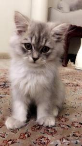 قطه اليفه بعمر الشهرين للبيع
