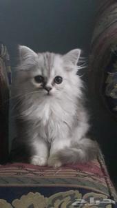 قط وقطه شيرازي الأعمار 3 اشهر ونص