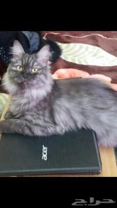 قطة تايغر للبيع