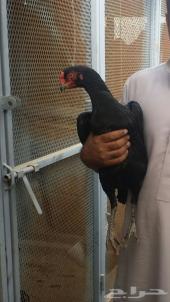 دجاجه بلجيكييه فاخره . تم البيع