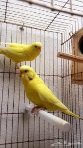للبيع طيور حب (بادجي) هولندي