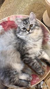 قطه شيرازي للبيع بالطايف