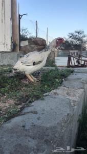 دجاج فارسي ( حجازي )
