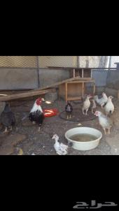 دجاج صيني منتج حجم صغير