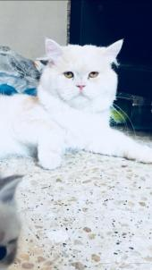 قط شيرازي منتج