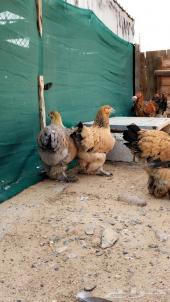 دجاج براهما بشاير 6 شهور