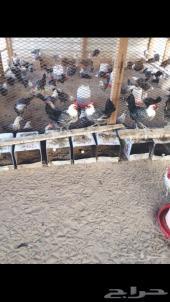 بيض دجاج فيومي ابيض سلالة اصيلة