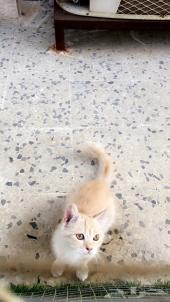 قط هجين للتبني