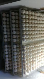 بيض مخصب