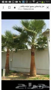 نخله واشنطني منتجه للبذور بطول 4 متر افضل نوع