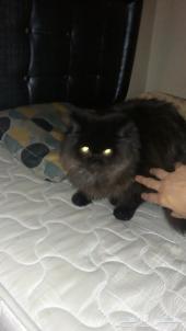 قطه ذكر بيكي فيس