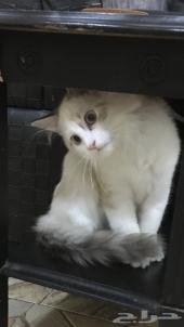 قطط للبيع بسعر مخفض