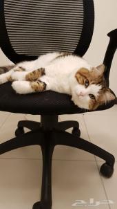 للتبني قط شيرازي جميل
