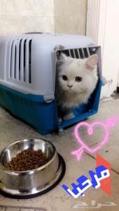 قطة انثى للبيع