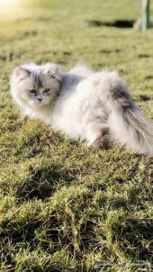 قطه هملايا لون جميل