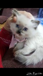 قطة هملايا من اب شيرازي للبيع