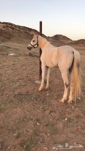 حصان عربي شعبي جميل وجبر وينافس الواهو