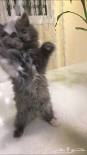 قطه شيرازيه صغيره للبيع