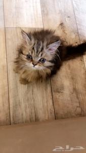قطه اثنى عمرها 3 شهور للبيع
