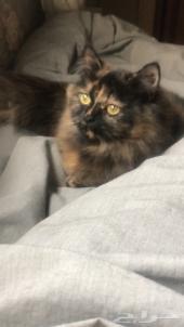 قطه شيرازي سوداء للبيع جده