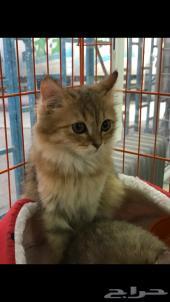قطه شيرازيه قط شيرازي قطو قطوه بسه قطط2