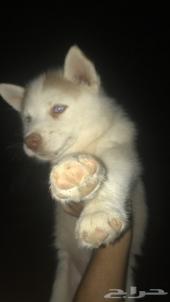 كلب هاسكي صغير للبيع