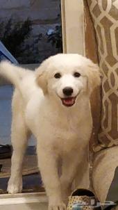 كلب جولدن هاسكي