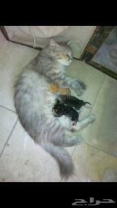 قطة مفقودة بحي المنار الدمام