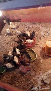 صوص دجاج بلدي 35 حبه