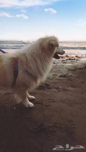 كلب زوزو خميس مشيط