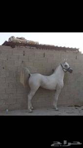 حصان مصري بيور دم فاخر